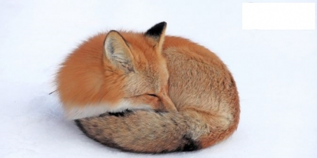 Dites NON aux Ch'tis Fox Days / Say NO to the forthcoming fox cull in France (w/ English translation)