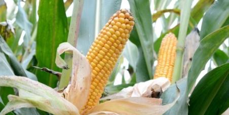 Interdiction de cultiver le maïs OGM TC1507 en Europe
