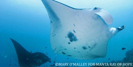 Historic vote protects manta rays at CITES