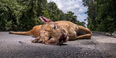 Medidas emergenciais contra atropelamentos de animais silvestres nas Reservas de Sooretama e Vale