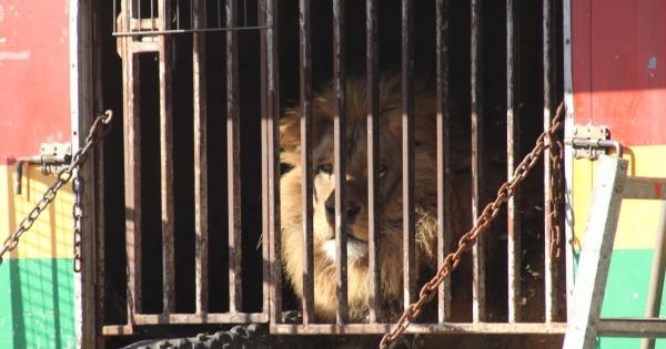 Wzywamy Sejm Rzeczypospolitej Polskiej do wprowadzenia zakazu wykorzystywania zwierząt w cyrkach.