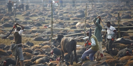 Stop the Gadhimai Festival