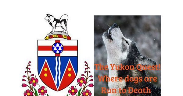 Sled Dogs are Run to Death & Maimed for Life! Tell the Yukon Government to Stop Funding the Deadly Yukon Quest!