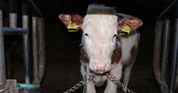 Ketten und Spaltenboden bei Rindern? Hunderte Jahre Quälerei sind genug - STOPP!!!
