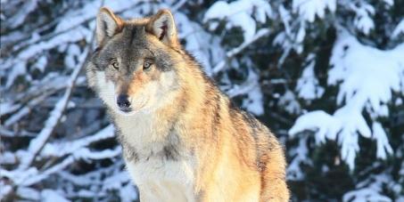 Pour la Sauvegarde du Loup en France