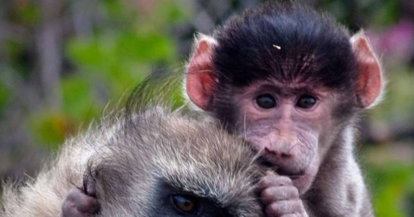 Stop killing CapeTown's baboons.