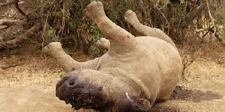 "IUCN - Change the conservation status of the Southern White rhino from ""Near Threatened"" to ""Endangered""."
