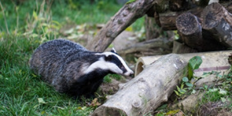 Stop the English badger cull