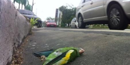 Prefeitura de Manaus, SEMMAS, IPAAM e IBAMA: Apurar morte de cerca de 200 periquitos em avenida de Manaus