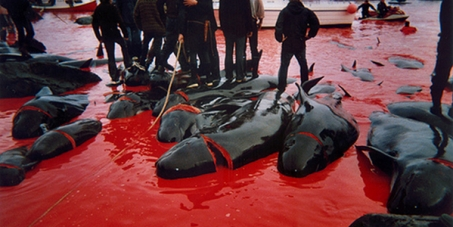 Stop the tradional slaughter of dolphins!
