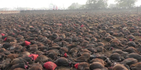 To the Nepalese Goverment, Prime Minister, Minister for Home Affairs:: We call on you to stop massive buffalo ritual mas