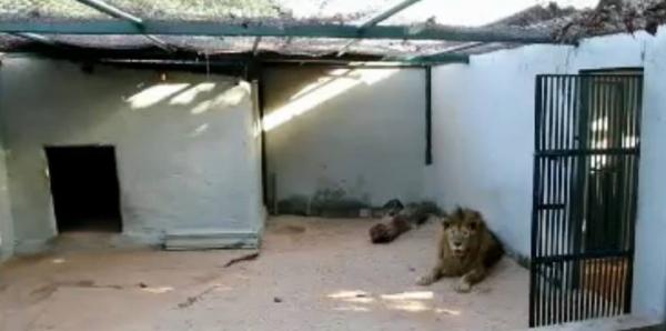 Zoológico de Brasilia : Transfiram o leão e a onça para o Santuário Ecológico Rancho dos Gnomos