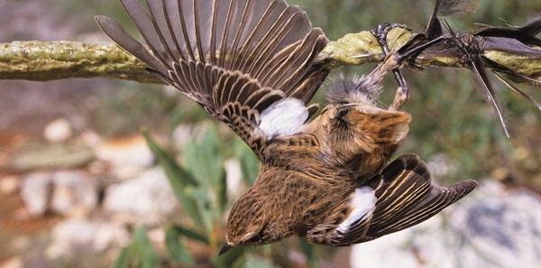 Mettons fin au massacre illégal  des oiseaux familiers