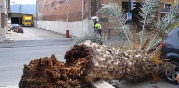 Ministro de Agricultura del Gobierno Español: Que actúe para salvar las palmeras  de la devastación del Picudo rojo
