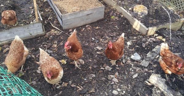 Maire et Conseillers de la Ville de Sherbrooke: Permettre les poules urbaines à Sherbrooke