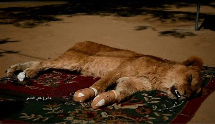 The Rafah Zoo owner: Prevent Rafah Zoo from declawing a lion cub