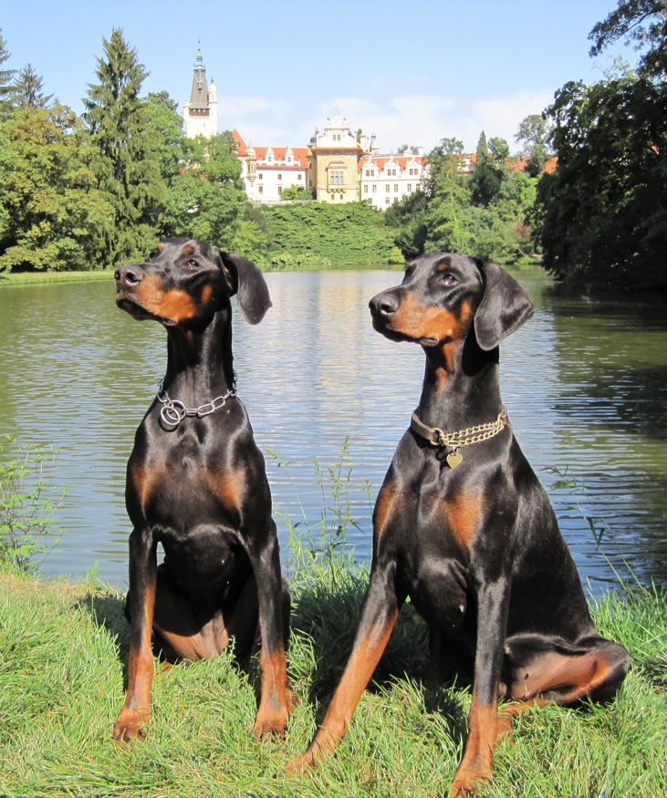 National Dog Show 2020.Replace Dobermann Judge At Birmingham National Dog Show 2020