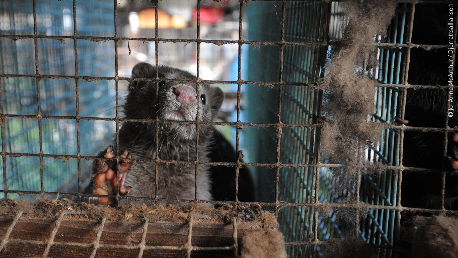 Fur is cruelty: EU keep out!